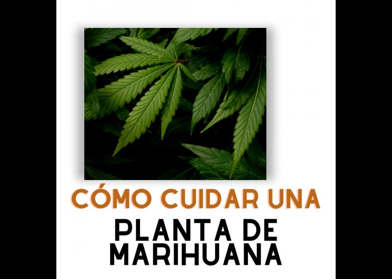 como cuidar una planta de marihuana