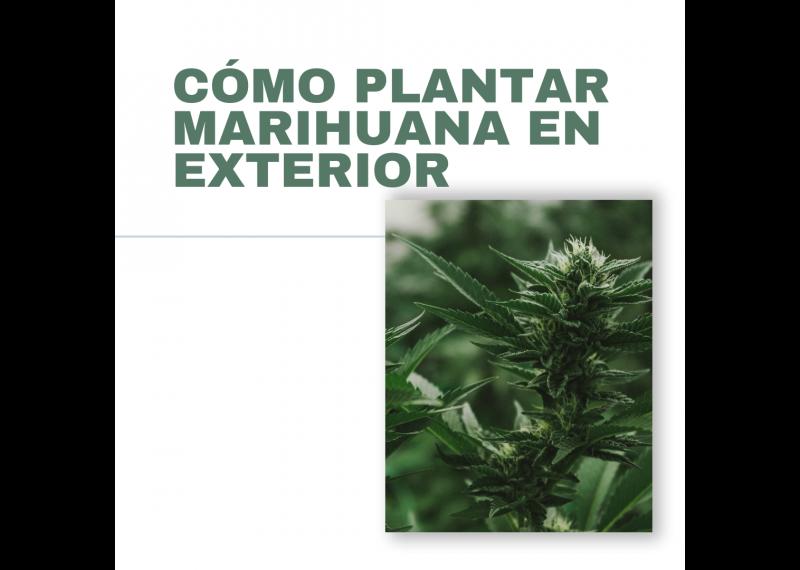 como plantar marihuana en exterior