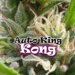 Auto King Kond Dr. Underground Autofloreciente
