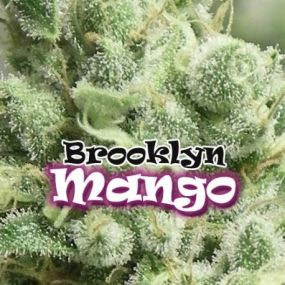 Brooklyn Mango Feminizada Dr. Underground