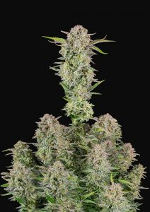 Bruce Banner Auto Fast Buds