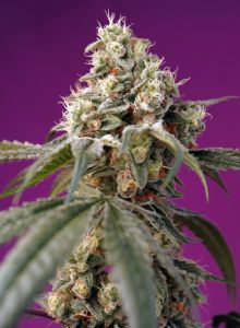 Bruce Banner Auto Sweet Seeds
