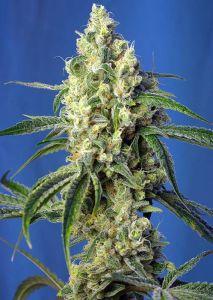 Green Poison CBD Feminizadas Sweet Seeds