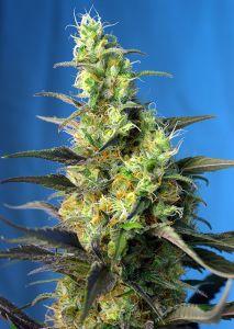 Ice Cool CBD Sweet Seeds Feminizadas