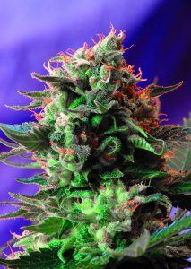 Jack 47 Feminizada Sweet Seeds