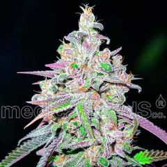 Mendocino Chanel Kush Feminizada Medical Seeds