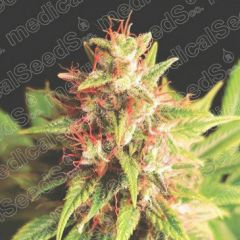 Red Cross CBD Feminizada Medical Seeds
