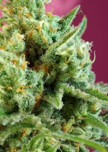 S.A.D. Sweet Afgani Delicious CBD Sweet Seeds