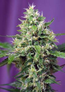Sweet Amnesia Haze XL Auto Sweet Seeds