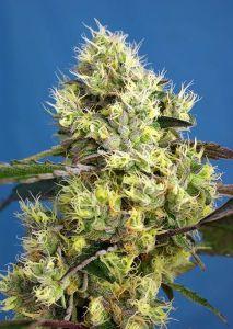Sweet Gelato Auto Sweet Seeds
