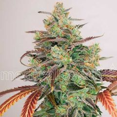 Y Griega CBD 2.0 Feminizada Medical Seeds