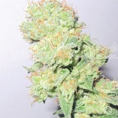 Y Griega CBD Feminizada Medical Seeds