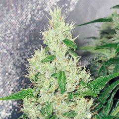 Y Griega Feminizada Medical Seeds